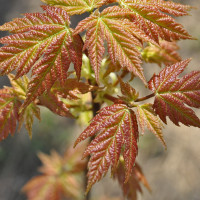 maple unfurling